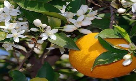 Festa dei fiori d'arancio