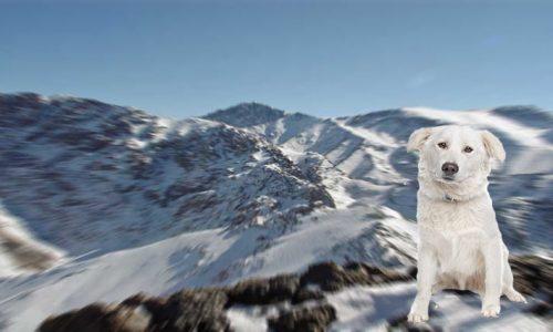 Aidi il cane dei monti Atlas